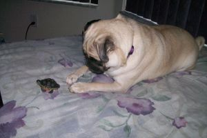 A Pug and a Turtle by Pheonixgirl128