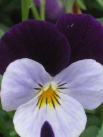 little pansy by crazygardener