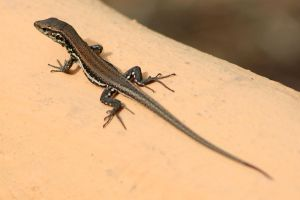 Gallotia - canarian lizard by Tribolonotus