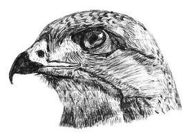 Hawk pen drawing by NightFever100