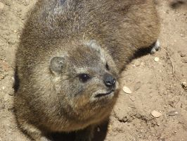 Rock Hyrax by Skarkdahn