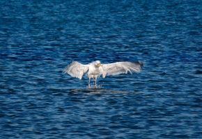 Seagull - Gotcha! by PenguinPhotography