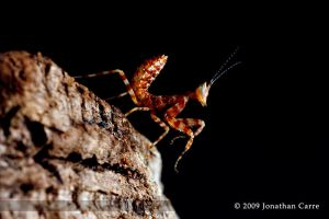 Indian Flower Mantis nymph 2 by InsaneGelfling