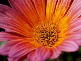 Orange and Pink Daisy by mohaganbev