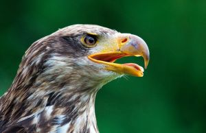 American Bald Eagle by hoodoo