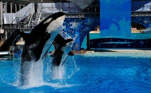 Killer Whales on Show by mnjul