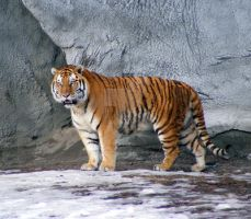 Siberian Tiger 3 by EquineStockImagery