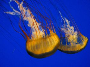 Sea Nettle 2 by Painted-Nightmares