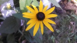 Black Eye Susan by KitFox17