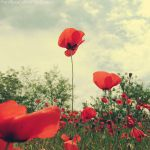 Poppy Version 1 by FrancescaDelfino