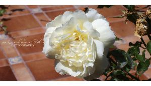White yellow Rose by RazielMB-PhotoArt