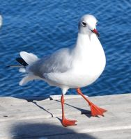 Seagull 3 by Evinawer-Stock