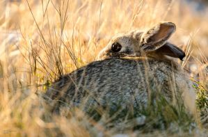 Cottontail by JestePhotography