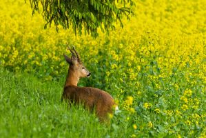 Roebuck looking out over the rapeseed field by roisabborrar