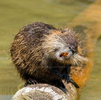 Nutria_03 by Barakwolf