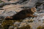 Common Seal pup by Cantabrigian