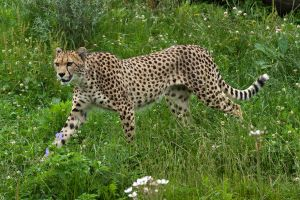 One cheetah from Zoo Plzen by fpanther