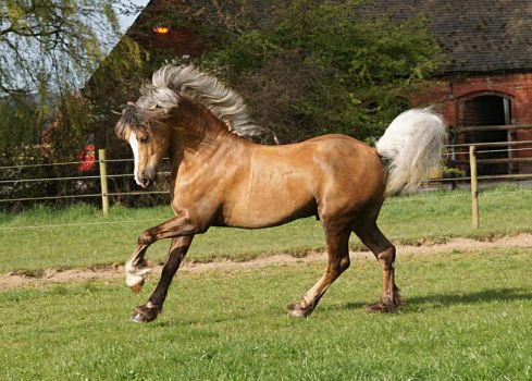 Palomino Stallion Stock by equinestudios