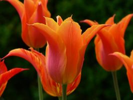 Tulips by WoundedL1on