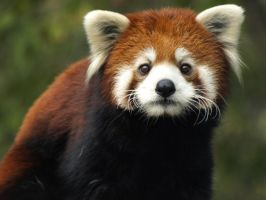 Red Panda Fresh Start 2 by KodaSilverwing