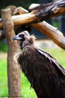 Eurasian Black Vulture by Riphath