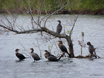 Cormorant Family by Mogrianne