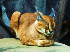 Carcal Lynx at Toronto Zoo by WhirledlyGoodz
