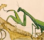 Elegant praying mantis by jackie-dd