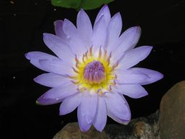water lilly 5340 by Maxine190889