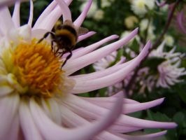 .stock: pink dahlia and bee. by guavon-stock