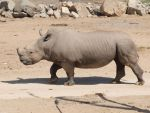 Rhino full body walking by photographyflower