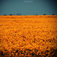 Field Of Gold by augustrush008