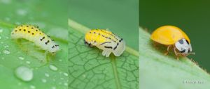 Coccinellidae by melvynyeo
