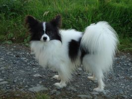 Papillon by Teeno2007