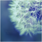 dandelion. by ThErEaLDoLLyFrikka