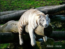 White Tiger III by Alice-view