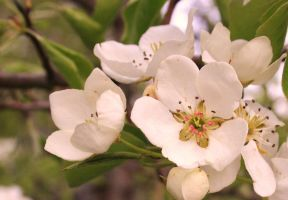 Pear Blossoms by Kiarate