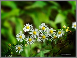 Daisy string by Mogrianne