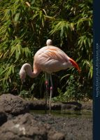 Flamingo 02 by kuschelirmel-stock