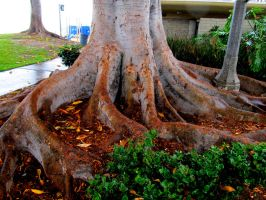 Roots by vfrrich
