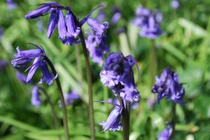 Bluebell Forest I by lafora