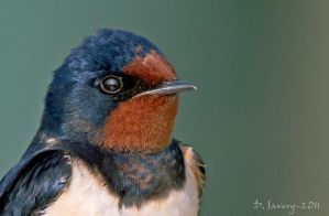 Swallow portrait by Slinky-2012