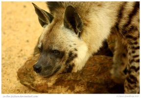 Striped Hyena by In-the-picture