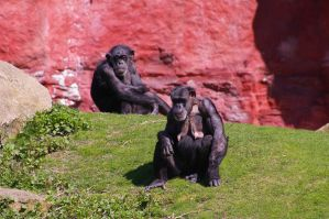 Chimpanzee VIII by expression-stock
