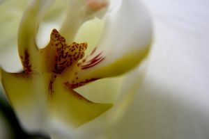orchid by SchwingSchwing
