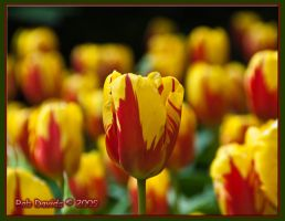 Tulips - 11 by Mellon-001