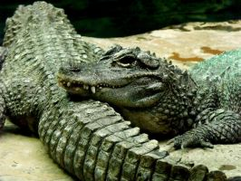 Chinese Alligators by Innocentium