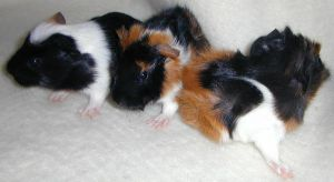 Old stuff - GUINEA PIG BABIES by Illmad