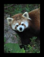 Red Panda - Money shot by little-gold-fish