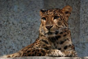 North China Leopard 1020 by robbobert